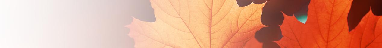 semi transparent maple leaf background